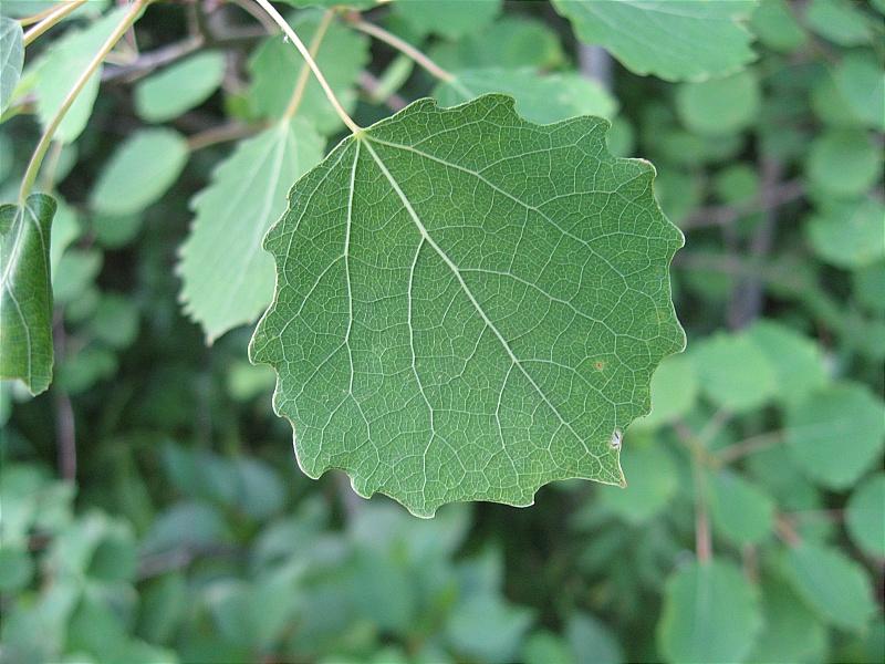 Березовый листочек