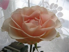 Роза совсем распустилась...