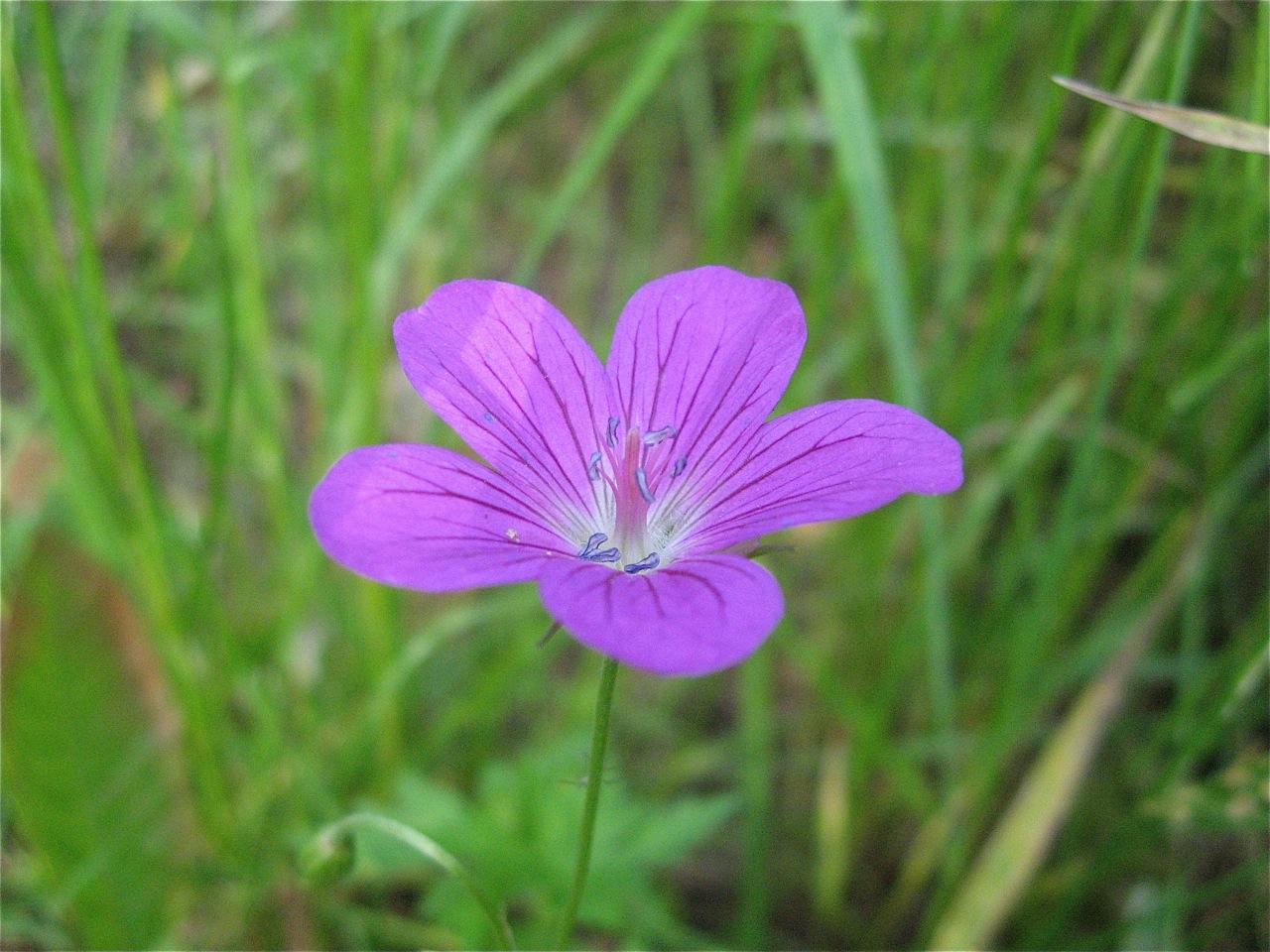Сиреневый цветочек