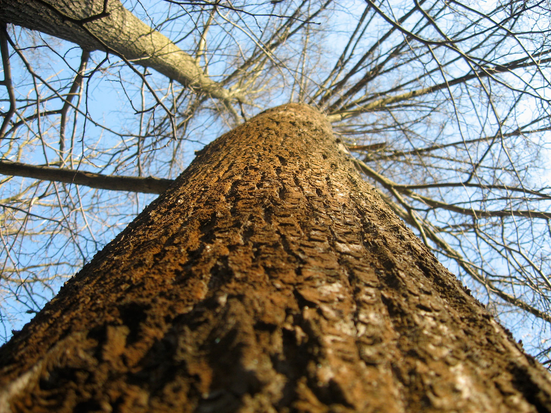 центровое дерево