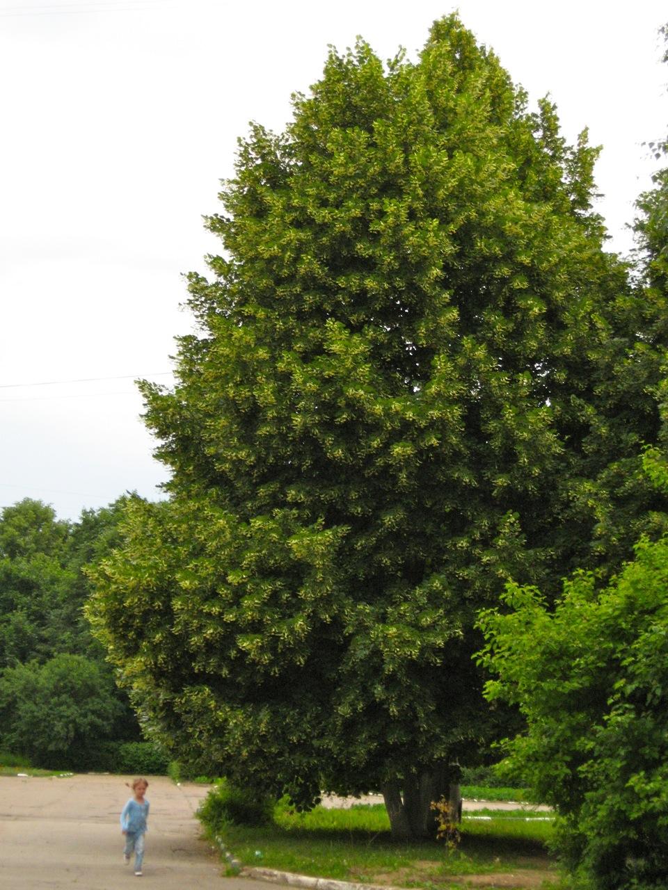 В детстве все деревья кажутся огромными...