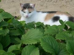Кошка и клубника
