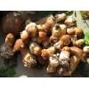 Белые грибы фото