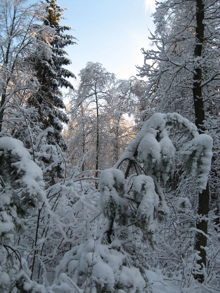 Лес в снегах