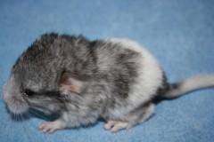 Домино, в день своего рождения 22.01.2011 г. (дубль два)