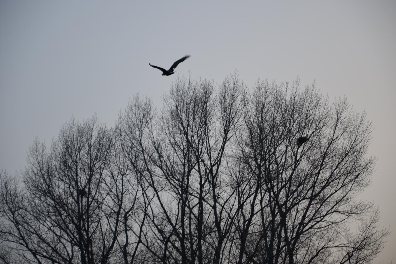 Белохвостый Орлан