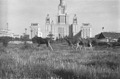 Лоси у МГУ. 1961 год