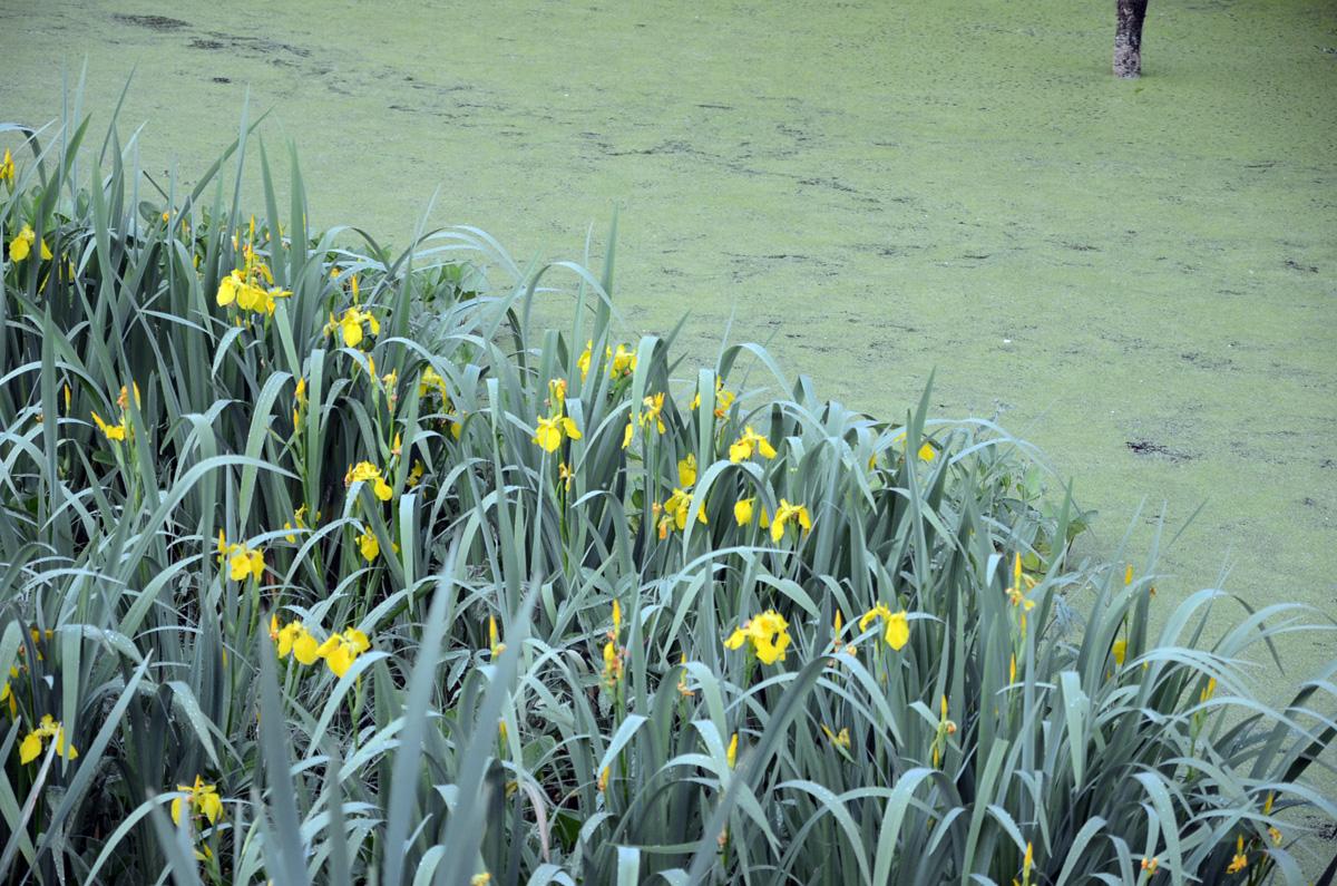 Жёлтые ирисы на берегу Безымянного ручья