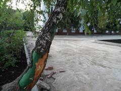 многострадальная берёза 2063 школы города Московский