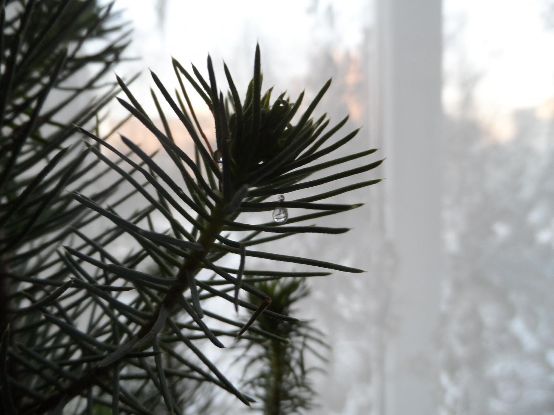 Смола на иголка моей Новогодней сосны