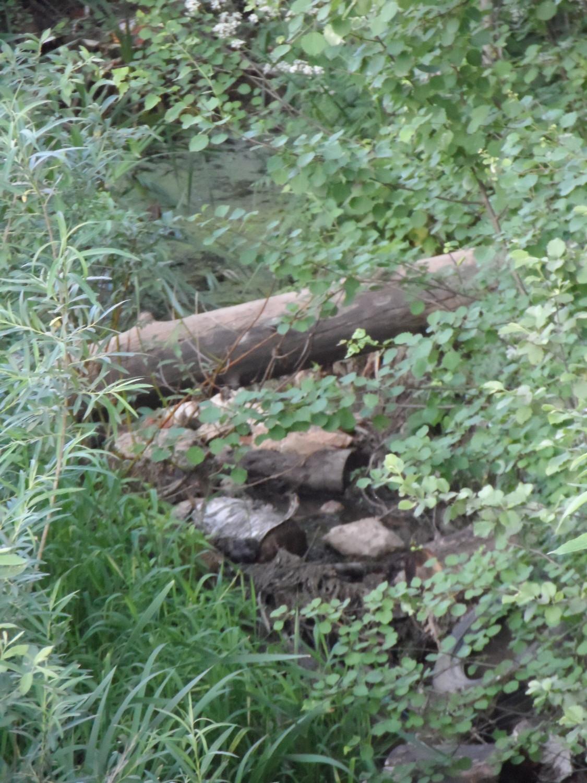 Прогулка вдоль Безымянного ручья 08.06.2014 г..(бобровая платина)