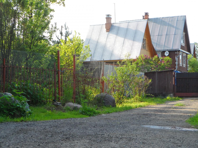 Семейная пара уток гуляет по д. Мешково