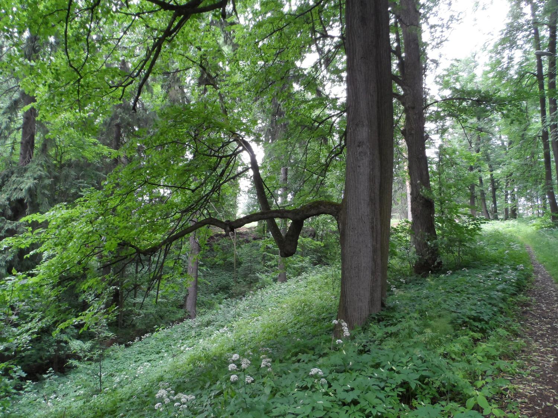 Ветка липы (парк усадьбы Валуево)