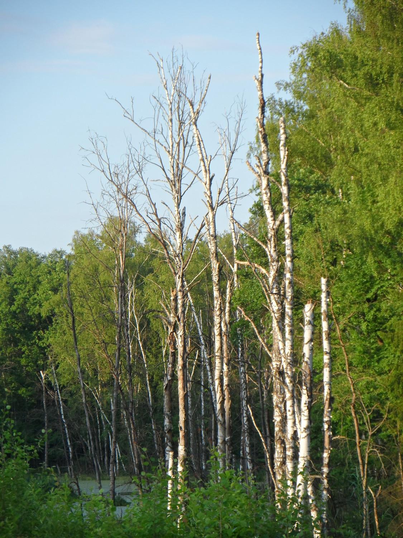 Прогулка вдоль Безымянного ручья 08.06.2014 г..(подтопленные берёзы)