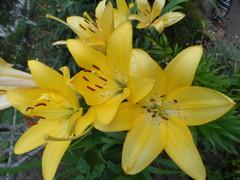 Лилия жёлтая