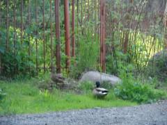 Пара уток обследует чужие огороды в д. Мешково