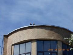 Московские утки живущие на крыше
