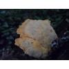 Древесный гриб?