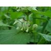 Яснотка белая (глухая крапива) и муравьи которым по вкусу её цветы  )