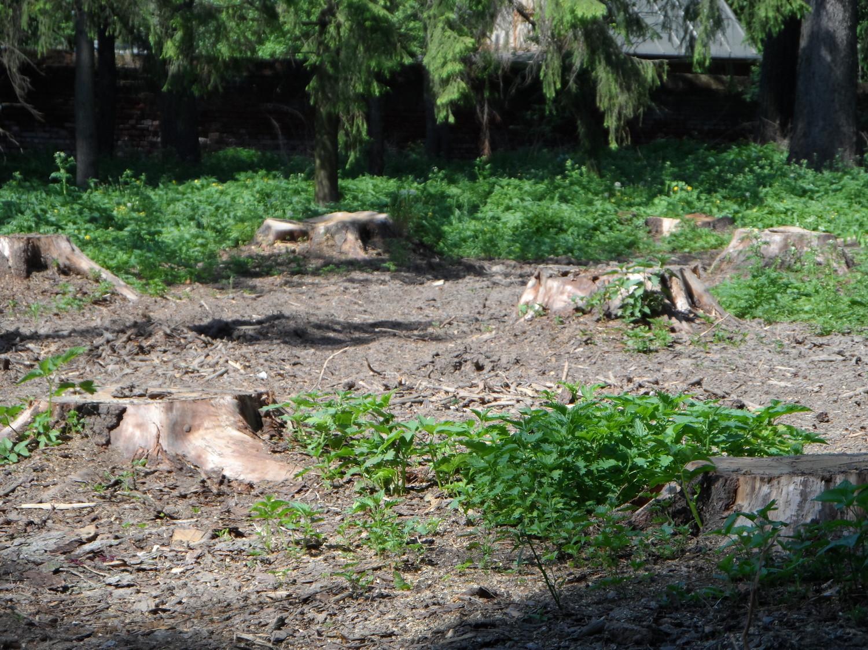 Пеньки от деревья из которых возводят кафе на берегу реки Ликова