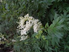 говорят отвар из этого цветка повышает иммунитет