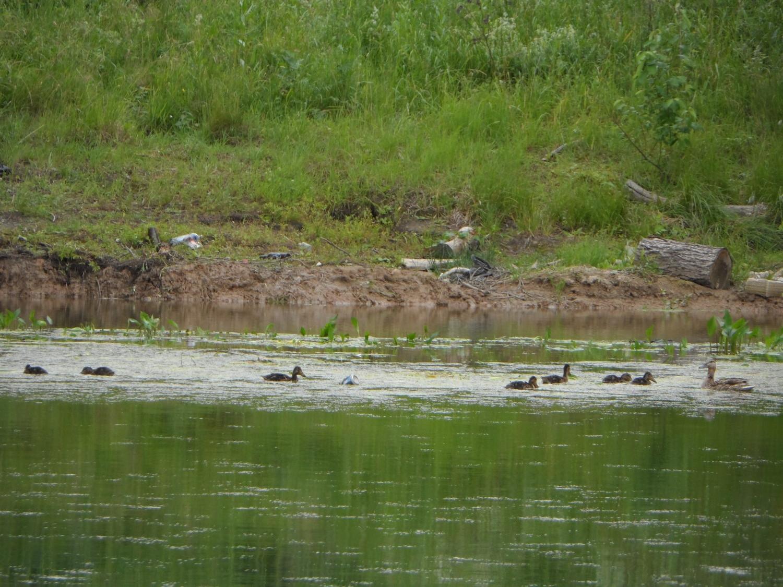 Утка с выводком на пруду в д. Дудкино