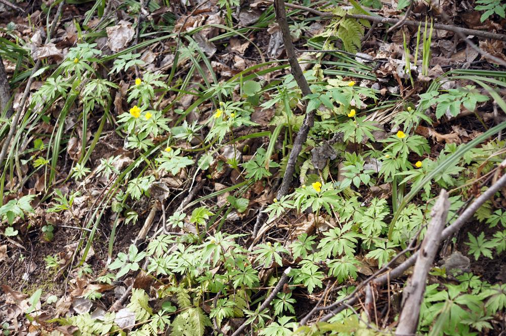 Ветреница лютичная в Валуевском лесопарке