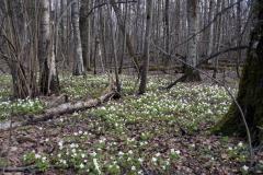 Ветреница дубравная в Ульяновском лесопарке