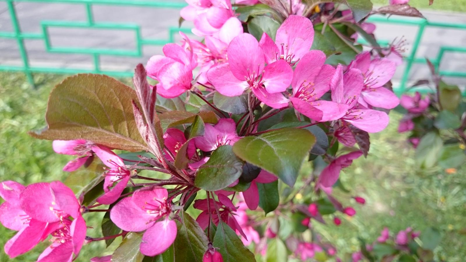Местная сакура цветет