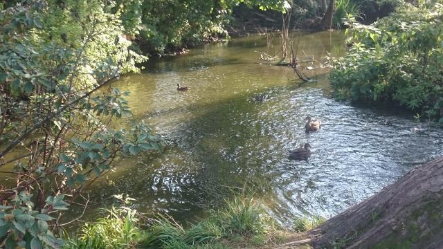 Утки на речке в Мешково
